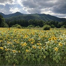 """画像 かたしなの """"ひまわり畑""""今年も綺麗に咲いています♪ の記事より 1つ目"""