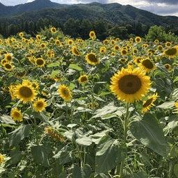 """画像 かたしなの """"ひまわり畑""""今年も綺麗に咲いています♪ の記事より 2つ目"""