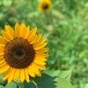 【ライフスタイル】ひまわり畑と熱中症対策の画像