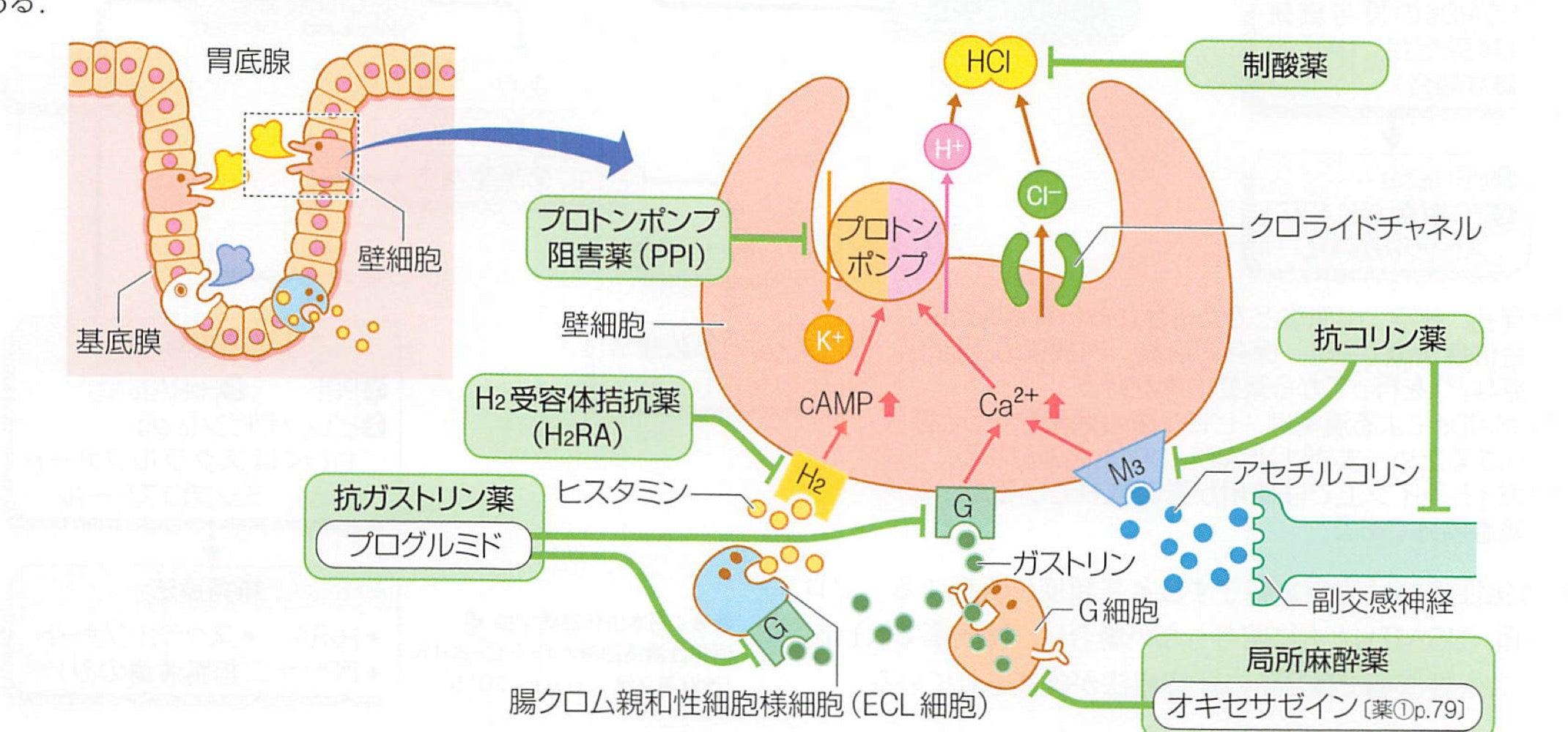 性 細胞 親和 クロム