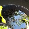 メダカとミニトマトのそのまんま蒔きの画像