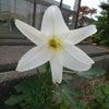 百合の花とイチジクの画像