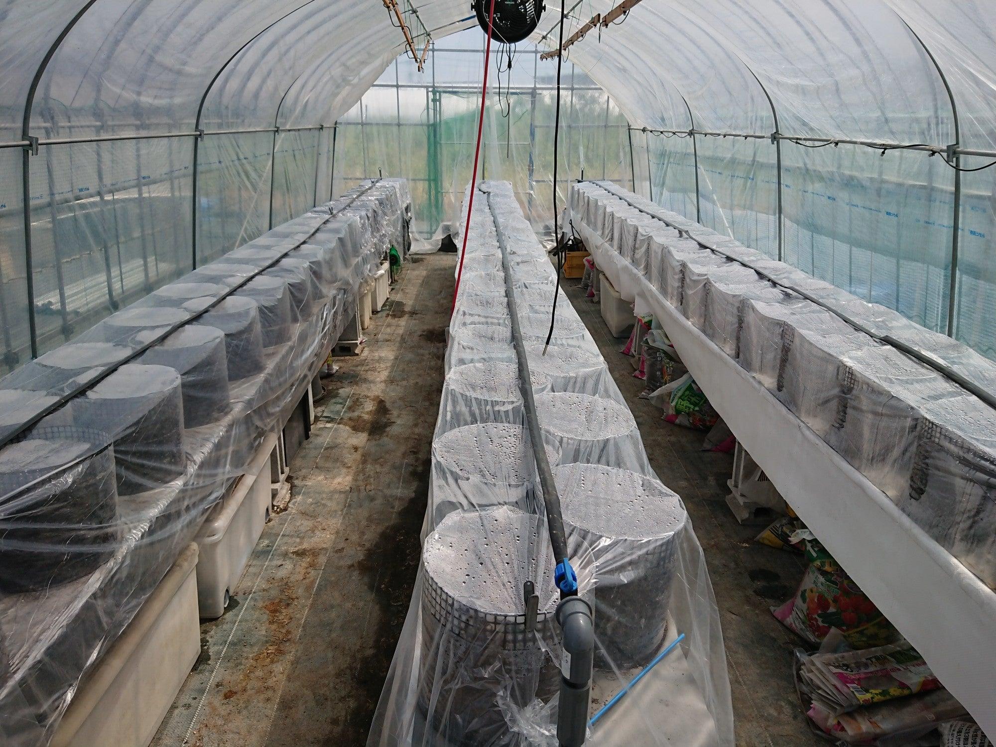 イチゴ栽培日記