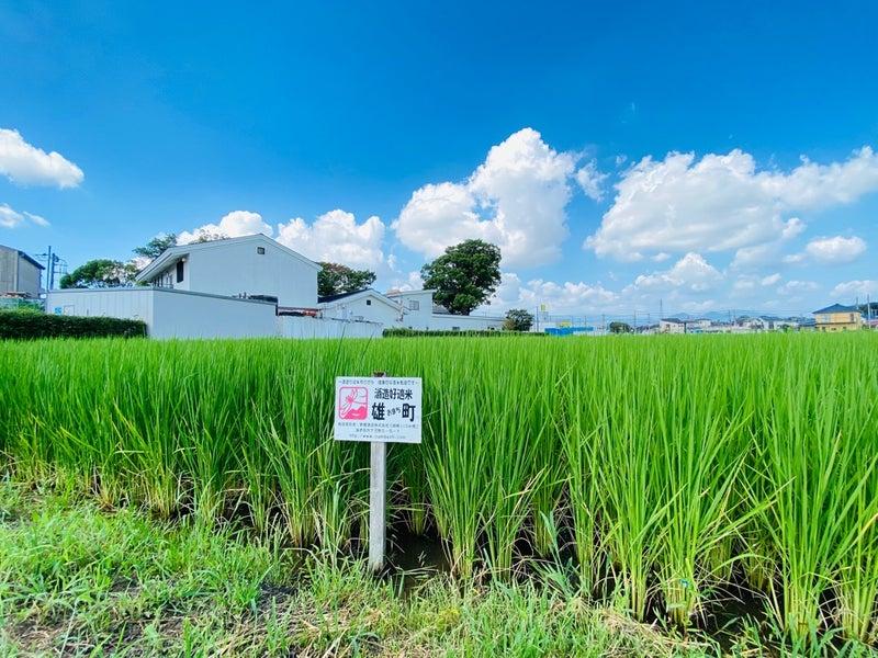 栽培醸造蔵】創業1857年、米作りも20年!神奈川県海老名市の泉橋酒造を ...