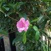 「薔薇」が咲きました〜の画像