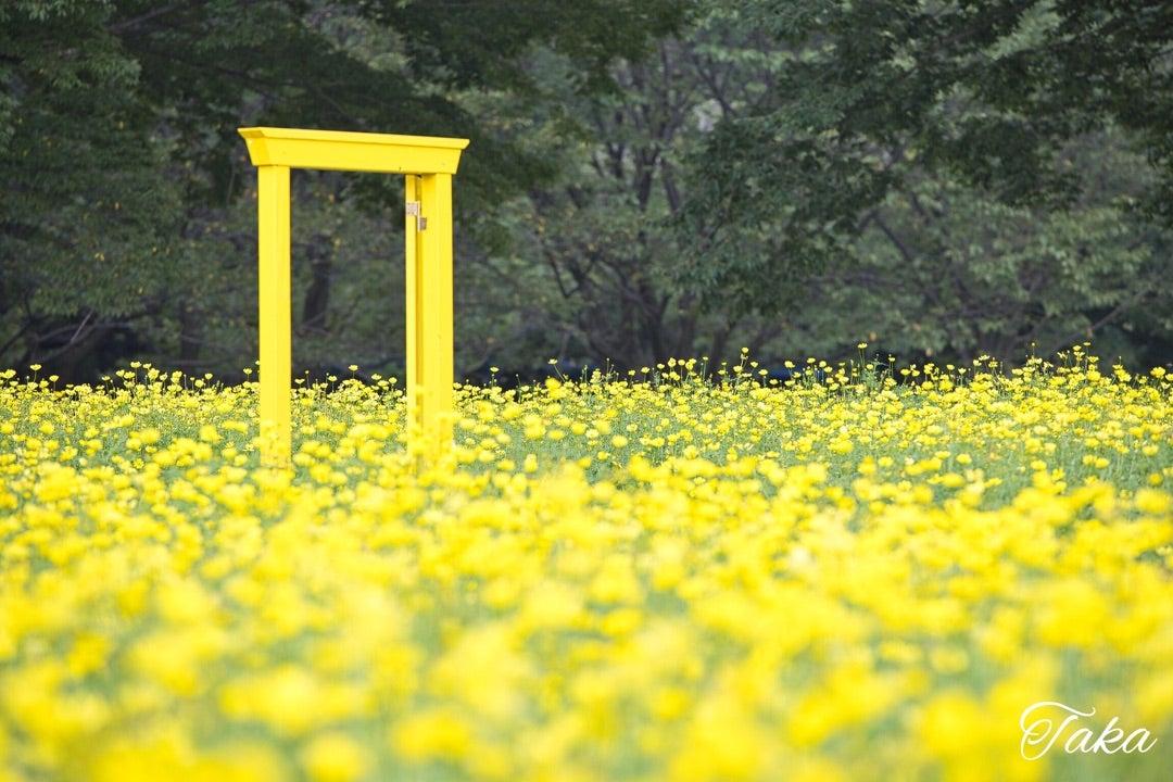 国営昭和記念公園のコスモス その1