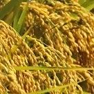 稲と台風のおはなしの記事より