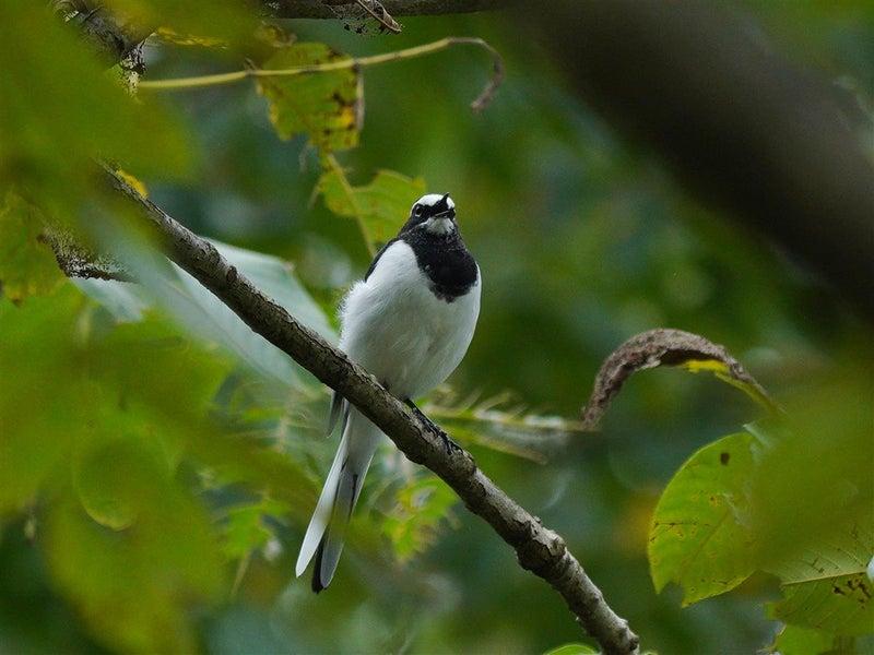 鳴き声 セキレイ セキレイとはどんな害鳥?生態や被害が起こる原因などを解説