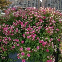 画像 中国のバラ品種! の記事より 6つ目