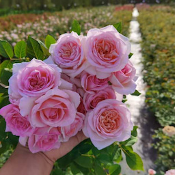 画像 中国のバラ品種! の記事より 1つ目