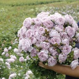 画像 中国のバラ品種! の記事より 3つ目