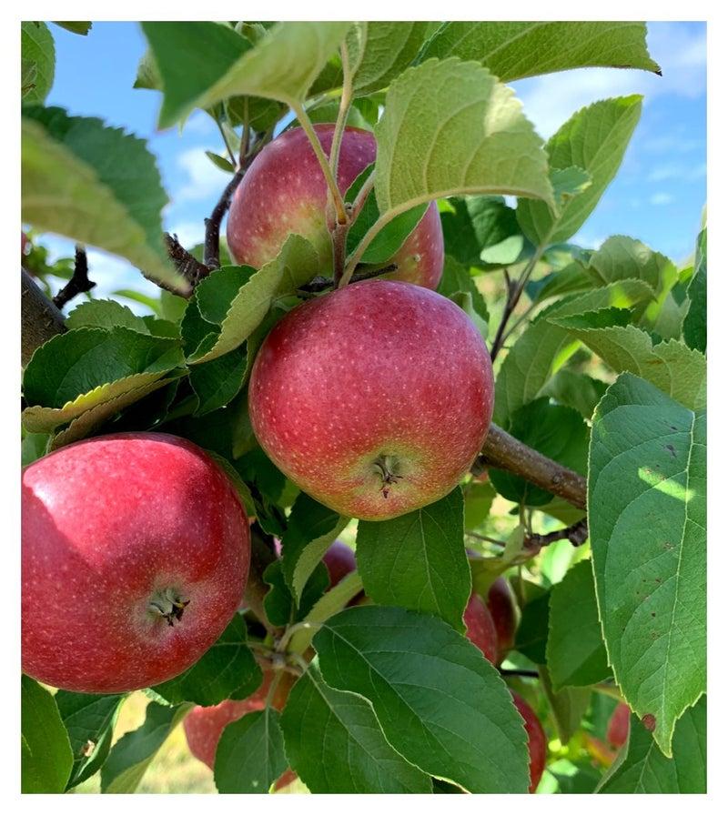 リンゴ オーチャード で