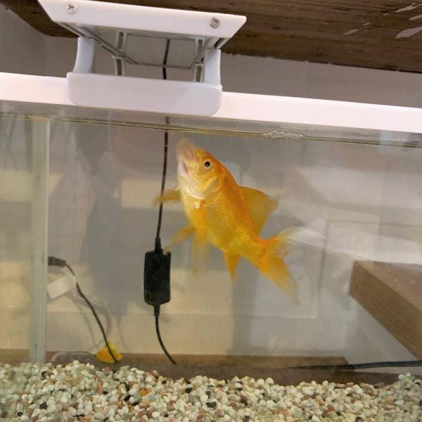 金魚のぷり夫さんの画像