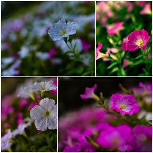 約束の花。の画像