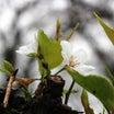 ★権現堂堤の桜が。。。★