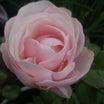 ガラケーなのにペタが無くなる(x_x;) 今日咲いた薔薇。ハンス・ゲーネバイン他。