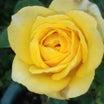 心が落ち着いた日でした。萩。木槿。薔薇 伊豆の踊り子他。