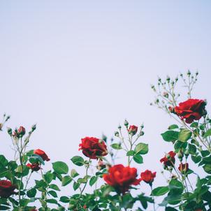 バラが見頃ですの画像