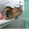 病を抱えた猫の預かりさん急募の画像