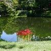 小石川後楽園の彼岸花の画像