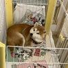 柴犬の二人のお泊まりの画像