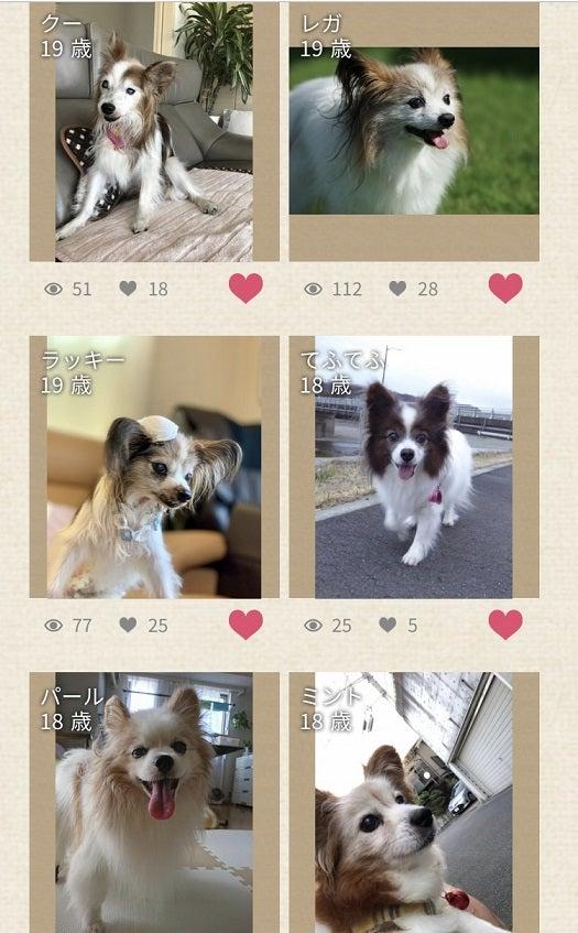 パピヨン 最 高齢 パピヨン18歳9ヶ月の最長寿タイ記録の犬ちゃんでした。 八王子下柚木...