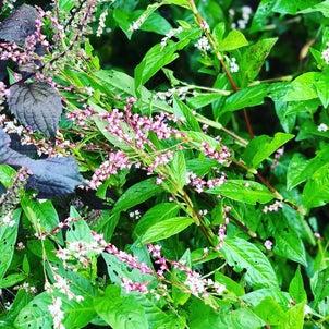 朝の畑は、小さな虫ワールド藍のドライフラワー作ろう!「Hozu ままや」の新...の画像