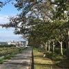 秋の桜並木の画像
