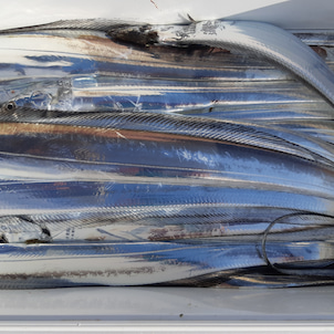 10月11日タチウオ乗合の画像