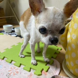 シニア犬のと暮らしの画像