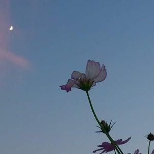 秋桜と月の画像