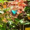 daisukibali_now #ローカル事情 Papilio peranthusの画像