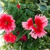 お庭の秋の花たちの画像