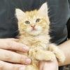 ☆MIX猫(ブリティッシュ×マンチカン)ちゃんのお迎えです☆の画像