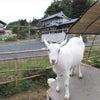 山羊とバルーンの画像