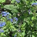 狂い咲きのシノグロッサムと発芽