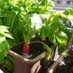 西洋赤大根の収穫♪(有機種子 固定種)