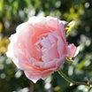 秋のバラの鉢増し(10月)&リラの色の不思議(*^-^*)