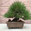昨日の黒松の盆栽を葉すかししました。