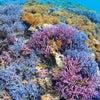 すももーずから宮古島の贈り物⭐︎珊瑚⭐︎の画像