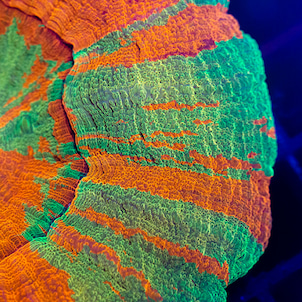 New Arrivals - UCA Coralsの画像