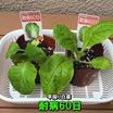 早採り白菜(耐病60日)に追肥