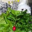家庭菜園の葉もの野菜とハーブを収穫して新鮮サラダレシピ
