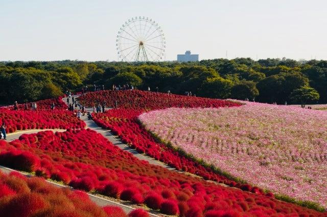 茨城県 ひたちなか公園 コキア