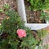 ミニ緑地:名残の薔薇の画像