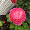 秋薔薇咲いてます。 シャンテロゼミサトの画像