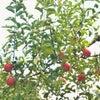 秋には秋の体験をさせてあげたいな♪果物狩りヘ行ってきましたの画像