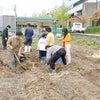 サツマイモ掘り交流の画像