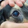 犬の目にうごめくものは?の画像
