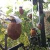 【乾物】庭の渋柿で干し柿を作りました〜14日間の記録の画像